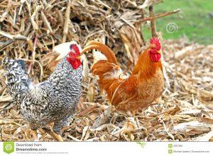 polli-galli-del-maschio-adulto-4367682